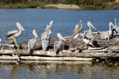 Pelicans at a sea Stock Photography