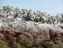 Pelicans and seabirds on the Ballestas Islands Stock Image