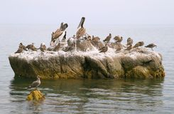 Pelicans and seabirds on rock Royalty Free Stock Photos