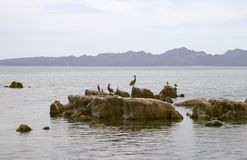 Pelicans and seabirds on rocks Stock Photos