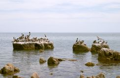 Pelicans and seabirds on rocks Royalty Free Stock Photos