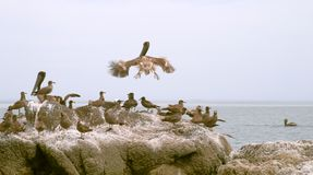 Pelicans and seabirds on rocks Royalty Free Stock Photo