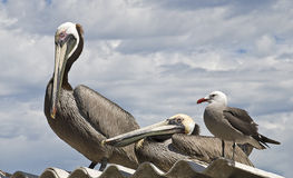 Pelicans and seagull on a roof Royalty Free Stock Image