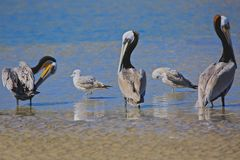 Pelicans and seagulls birds. A collection of seagulls and pelicans preening on the banks of the Pacific Ocean sandbar on a sunny California Royalty Free Stock Images
