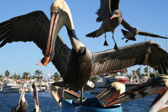 Pelicans and seagulls feeding. Pelicans and seagulls fight over fish guts in the marina in San Carlos Mexico Royalty Free Stock Image