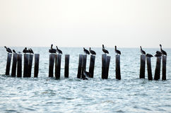 Pelicans and seagulls in ocean Stock Photography