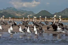 Pelicans and seagulls on a sandbar. With  mountain range in background ocean in forground Royalty Free Stock Image