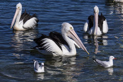 Pelicans and seagulls swimming together Royalty Free Stock Photography