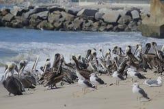 Pelicans and seagulls unite Stock Image