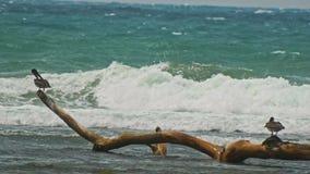 Pelicans seats at caribbean sea. Dominican Republick Royalty Free Stock Photo