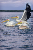 Pelicans in Senegal Royalty Free Stock Photos