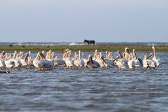 Pelicans in shallow water Stock Image
