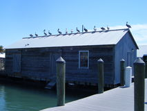 Pelicans on shed roof Stock Image