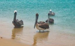 Pelicans in the shore of a beach in Guajira, Cabo de la Vela, Colombia Stock Photos