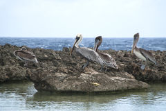 Pelicans on the shore Stock Photos