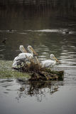 Pelicans. On the shore of the Kerkini Lake, Greece royalty free stock photo