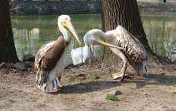 Pelicans on the shore of a lake on a sunny day. Pelicans on the shore of the lake in a sunny summer day Royalty Free Stock Photo