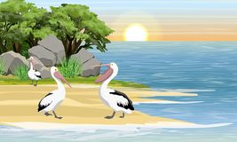 Pelicans on the shore of a tropical bay. Grass, stones and trees. stock illustration