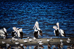 Pelicans and Shorebirds. The flock of pelicans and shorebirds, Queensland, Australia Royalty Free Stock Image