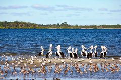 Pelicans and Shorebirds Royalty Free Stock Photography
