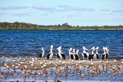 Pelicans and Shorebirds. The flock of pelicans and shorebirds, Queensland, Australia Royalty Free Stock Photography