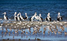 Pelicans and Shorebirds. The flock of pelicans and shorebirds, Queensland, Australia Stock Photo