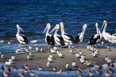 Pelicans and Shorebirds. The flock of pelicans and shorebirds, Queensland, Australia Stock Images
