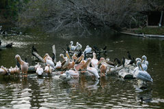Pelicans sit on a log that is in the lake. Close up Stock Image