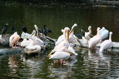 Pelicans sit on a log that is in the lake. Close-up Stock Photography