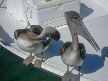 pelicans are sitting on a boat royalty free stock photos
