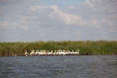Pelicans sitting in danube delta landscape Royalty Free Stock Photos
