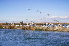Pelicans sitting on a levee, Sunnyvale, south San Francisco bay area, California stock photography
