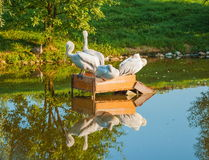 Pelicans. Sitting in the middle of the pond in the park Royalty Free Stock Photos