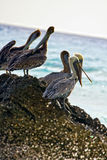Pelicans sitting on a rock Stock Image