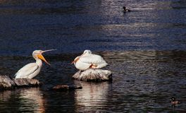 Pelicans sitting on rocks with ducks swimming around royalty free stock images