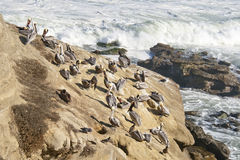 Pelicans sitting on rocks in San Diego, California Stock Photo