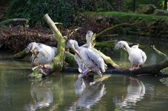 Pelicans sitting by the water. Cleaning there selfs stock photography