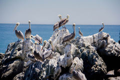 Pelicans sitting on white rocks. Stock Photography