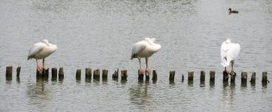 Pelicans are sleeping stock photo