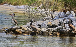 Pelicans and Snowy Egret on Rock Jetty Stock Photography