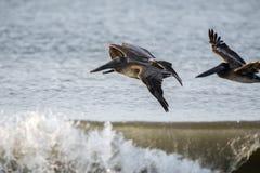 Pelicans Soaring Over Crashing Ocean Waves Royalty Free Stock Image