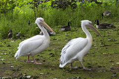 Pelicans in St. James Park, London, England Stock Photos