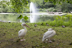Pelicans in St. James Park, London, England Stock Image