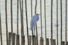 Egret standing on the bamboo in the sea stock photo