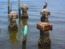 Pelicans standing on piers. Cedar Key Florida. Gulf of Mexico Pelicans. Old cement pillars stock photos