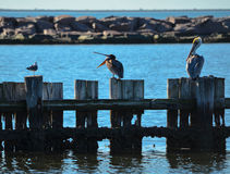 Pelicans Standing on the Pilings. In Palacios, Texas royalty free stock images