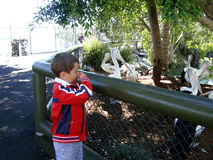 Pelicans stink!!!. A Little boy looking at pelicans with closed nose because PELICANS STINK stock photos