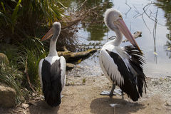 Pelicans stood by lake Royalty Free Stock Photo