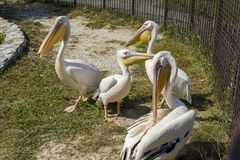 Pelicans on the street in the zoo royalty free stock photography