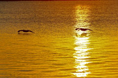 Pelicans at sunrise. Pelicans fly along the water in Florida during sunrise Royalty Free Stock Image
